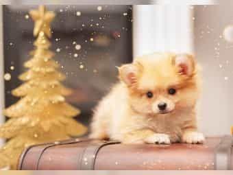 Adorable Pomerania Hund Kaufen In 2020 Pet Blog Pets Animal Lover