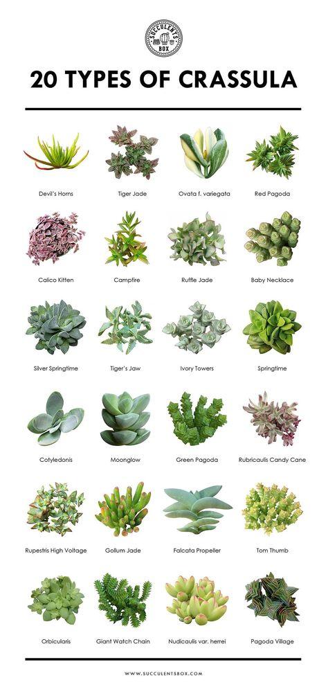 20 tipos de Crassula #succulents 20 tipos de Crassula