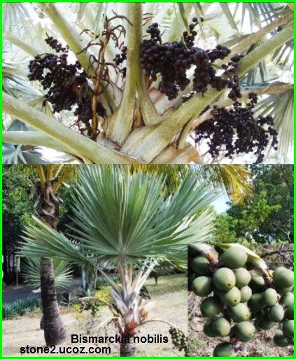 نخلة بسمارك وانواع البسماركية Bismarckia Nobilis النبات سميت إلى أسماء شخصيات النبات معلومات نباتية وسمكية معلوماتية Plants Nobilis