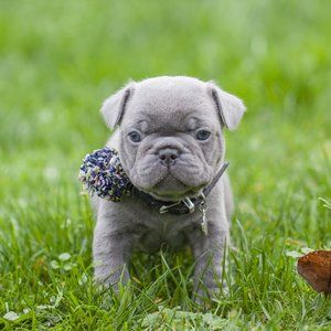 Lilac French Bulldog Puppy Now Living In Oregon Bulldog Puppies