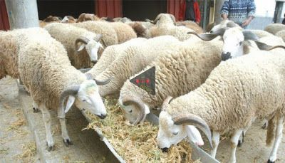 Pin By Mjmnews للمواضيع أخبار On M J M News Lamb Animals Goats