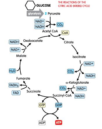 Biochemical Pathway Of Cell Respiration Flow Chart Elegant
