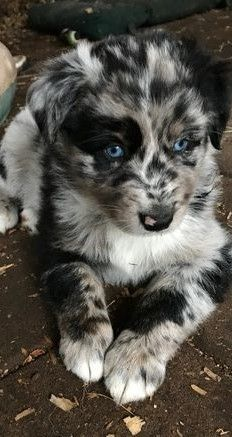 Border Collie Puppies Cute Baby Animals Cute Dogs And Puppies