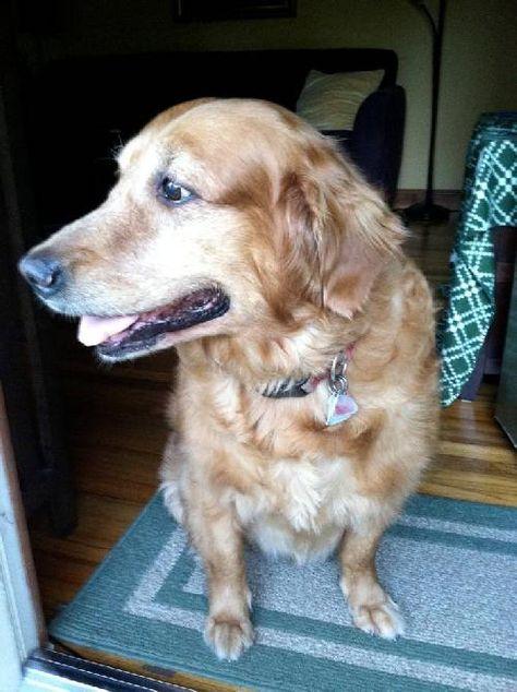 Adoptable Afton Golden Retriever Golden Retriever Rescue Dogs