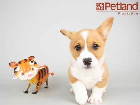 Petland Florida Has Pembroke Welsh Corgi Puppies For Sale Interested In Finding Out More About This Breed Check Out Our Available Pu Welsh Corgi Puppies Corgi Puppies For Sale Corgi