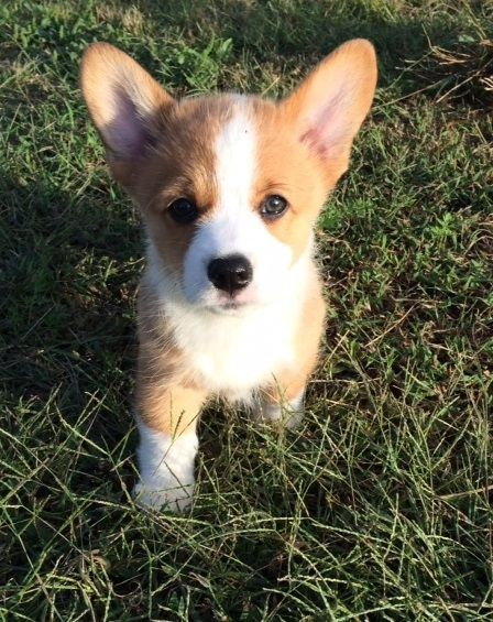 Pembroke Welsh Corgi Puppies For Sale Corgi Puppies For Sale Welsh Corgi Puppies Pembroke Welsh Corgi Puppies