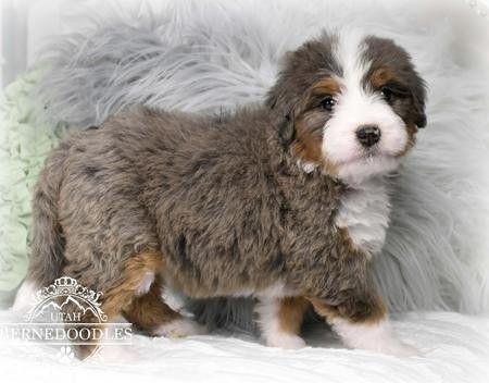 Merle Bernedoodle Bernedoodle Puppy Bernedoodle Animals