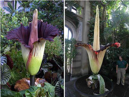 Corpse Flower Amorphophallus Titanum Weird Plants Corpse Flower Plants