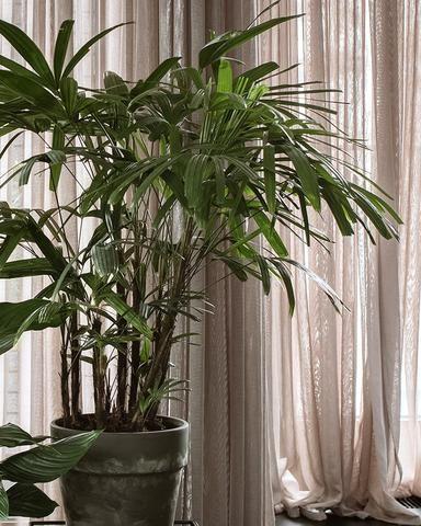 Rapis Plants For Humans Plants Chin