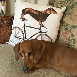 Cleveland Ohio Dachshund Meet Buster A For Adoption Https