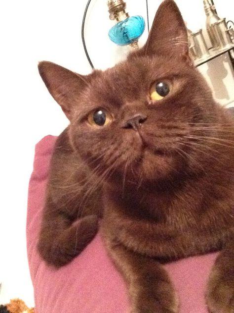 Hermione British Shorthair Chocolate British Shorthair British Shorthair British Shorthair Cats Chocolate Cat