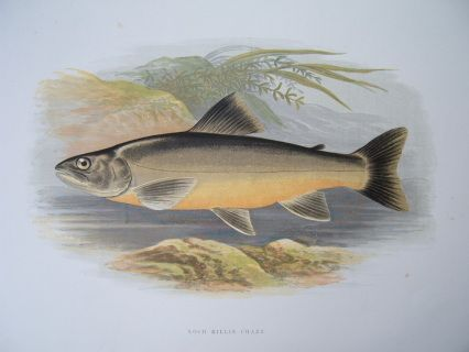 Houghton perfect for framing Pike print from the book freshwater fishes W
