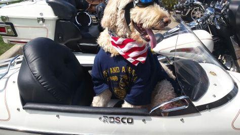 Golden Doodle Rosco  at Harley dealer.