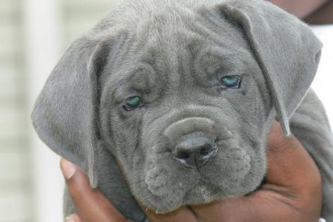 Finally Found The Dog I Want Blue Cane Corso Im In Love