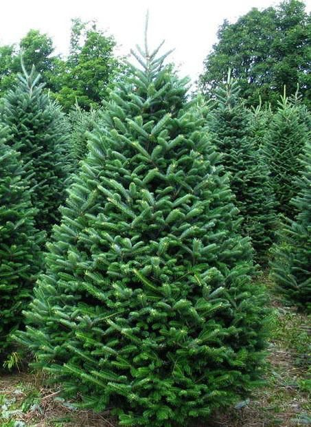 Google Image Result For Https Cdn Shopify Com S Files 1 0414 4245 Products Ffcloseup 1024x10 Fraser Fir Christmas Tree Fir Christmas Tree Real Christmas Tree