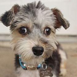Allentown Pa Bellfort Is A Maltesemin Poodleyorkie For Adoption