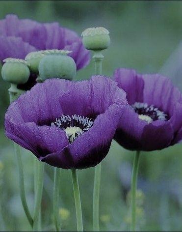 Herrliche Mohnblume Oder Klatschmohn Purple Poppies Poppy Flower Poppies
