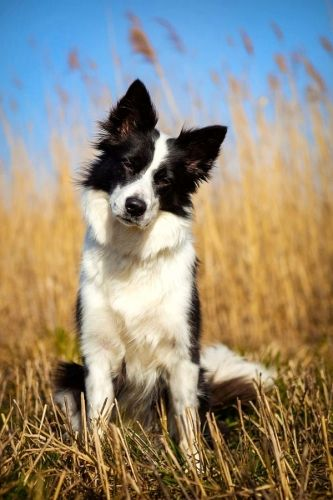 Cutest Border Collie Photos Sweet Border Collie Puppies Pics In 2020 Border Collie Puppies Collie Cute Dogs And Puppies
