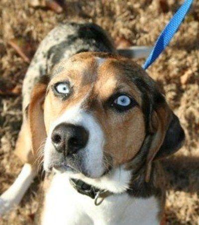 14 Australian Shepherd Mixes Working Dogs With Hearts Of Gold Beagle Mix Australian Shepherd Beagle Dog
