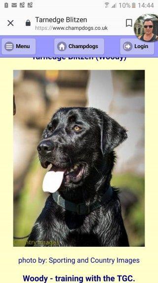 Labrador Pups For Sale Labrador Puppies For Sale Pup Labrador