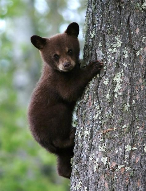 Bear Cub Glossy Poster Picture Photo Grizzly Baby Cute Trees Nature Decor 462