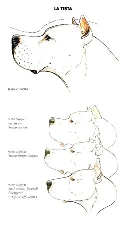 Pin By Thresa D Rabb On Dogo Argentino Pitbull Mix Cane Corso