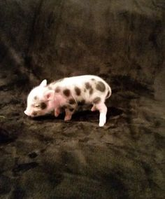 Pocket pig 25 pinterest mini pocket pigs specializing in rare papered micro julianas micro mini pigs voltagebd Gallery