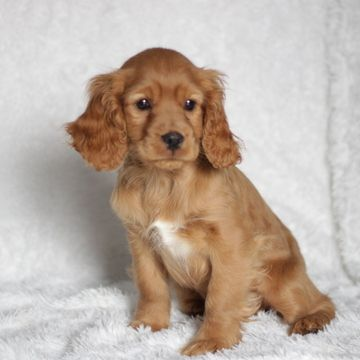 Cocker Spaniel Poodle Miniature Mix Puppy For Sale In Gap Pa