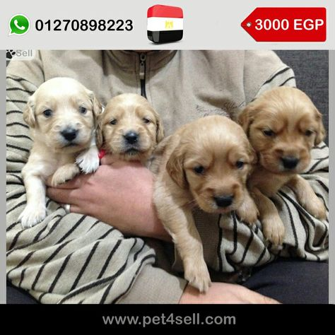 Egypt Cairo Home Born Nd Raised 4 Golden Retriever Puppies From