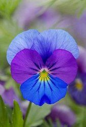 Pansy learn 2 #grow #pansy  http://www.growplants.org/growing/pansy