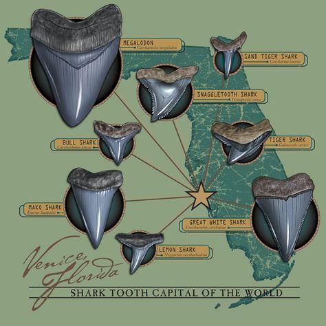 Megalodon, Shark Teeth Crafts, Venice Beach Florida, Colorful Fish, Tropical Fish, Fossil Hunting, Florida Adventures, African Cichlids, Deep Blue Sea
