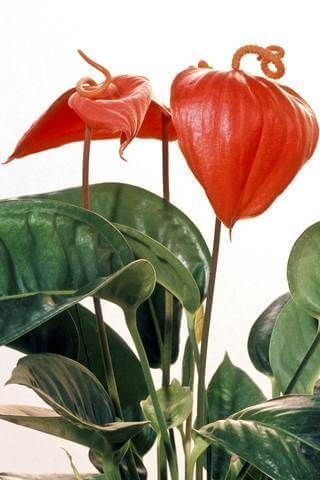 A Z List Of House Plants Common And Scientific Names Ornamental Plants Common House Plants Anthurium