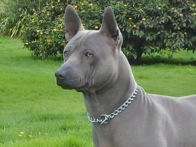 Pictures Of Blue Breed Dogs