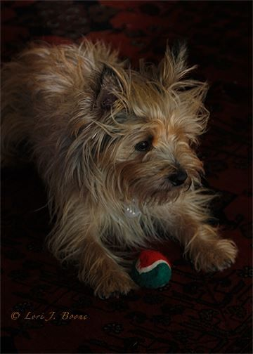 The Chew At 2 Cairn Terrier Terrier Cute Dogs