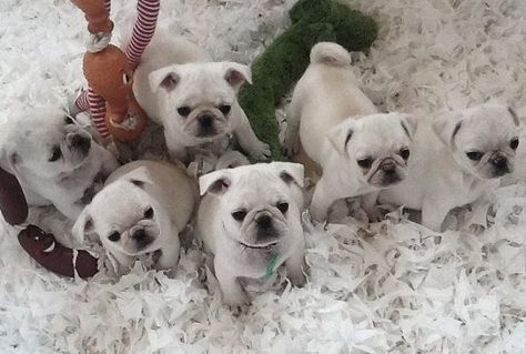 a passle of white pugs!