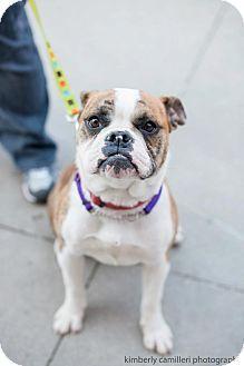 Detroit Mi English Bulldog English Bulldog Mix Meet Fefe A Dog