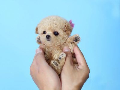 Micro Poodle For Sale Tiny Teacup Poodle For Adoption In 2020 Micro Poodle Teacup Puppies Cute Animals Puppies