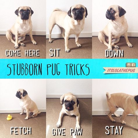 My Pugs Can Do All Of These Tricks Cute Pugs Pugs