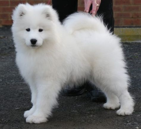 Baby Dog Images Photos Baby And Funny Animal Photos Samoyed Puppy Samoyed Dogs Baby Dog Images