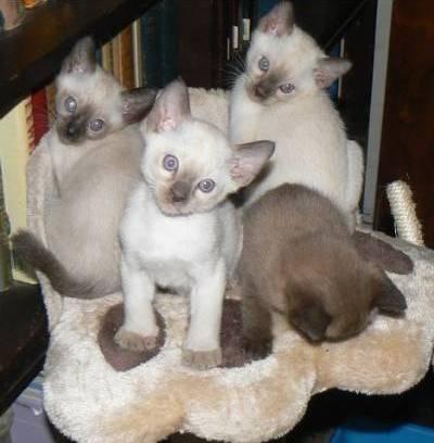 Tonkinese Cats For Sale Joliet Il Tonkinese Cat Tonkinese