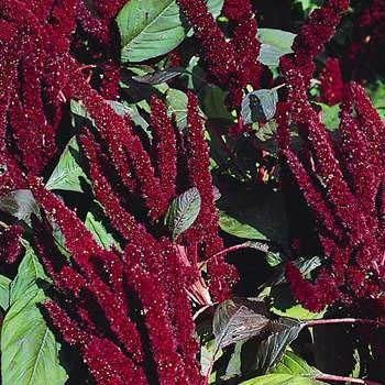Amaranthus Seeds Amaranthus Hypochondriacus Pygmy Torch Flower Seed Flower Seeds Annual Plants Container Flowers