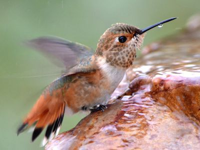 Encourage Hummingbirds To Nest In Your Yard Hummingbird Bird Bath Bird Fountain Humming Bird Bath,Ginnie Pig