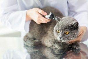 Russian Blue Cats For Sale Vancouver Bc Di 2020