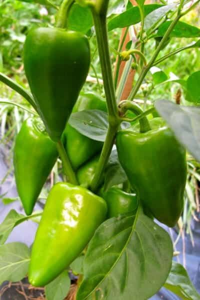 The Best Companion Plants For Peppers Sweet Or Hot In 2020 Companion Planting Herb Companion Planting Companion Gardening