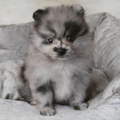 Teacup Pomeranian Puppies For Sale Chicago Teacuppomeranianpuppy Teacup Pomeranian Puppie Pomeranian Puppy Pomeranian Puppy For Sale Pomeranian Puppy Teacup