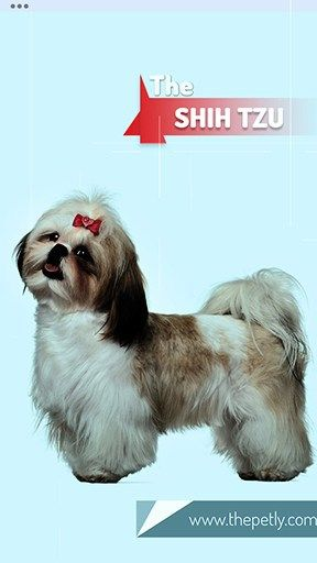17 Dogs That Don T Shed Much Ultimate Guide For Dog Owners Shih Tzu Shih Tzu Funny Baby Shih Tzu
