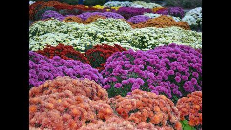 National Flowers Japan Chrysanthemum Flowers Chrysanthemum Beautiful Flowers