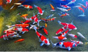 Are You A Fish Lover Shop Koi Food Koi Pond Accessories Buy Now Koi Fish Koi Fish For Sale Koi