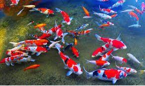 Are You A Fish Lover Shop Koi Food Koi Pond Accessories Buy Now Koi Fish Koi Fish For Sale Koi
