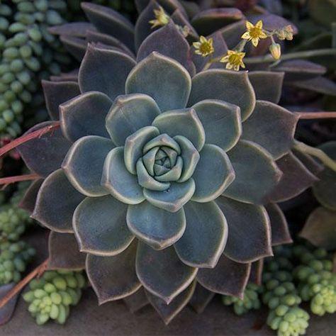 Altman Plants Buy Succulent Plants Online Succulents And Cacti